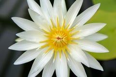 Fermez-vous de la fleur blanche crème de nénuphar à Wellington images stock
