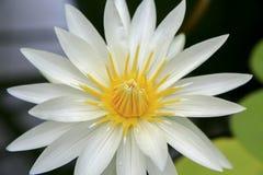 Fermez-vous de la fleur blanche crème de nénuphar à Wellington image libre de droits