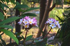 Fermez-vous de la fleur blanche et rose ou de la fleur de Leelawadee sur l'arbre photos stock