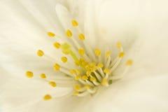 Fermez-vous de la fleur blanche simple de fleur de ressort Image libre de droits