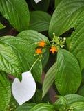 Fermez-vous de la fleur d'arbre de Dhobi Images libres de droits