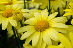 Fermez-vous de la fleur d'arnica Image libre de droits