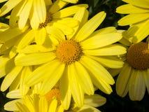 Fermez-vous de la fleur d'arnica Photographie stock libre de droits