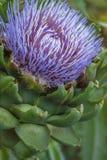 Fermez-vous de la fleur d'artichaut Photographie stock libre de droits
