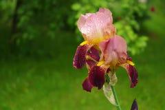 Fermez-vous de la fleur d'iris sur un fond vert Images stock