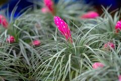 Fermez-vous de la fleur de bromélia Photos stock