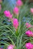 Fermez-vous de la fleur de bromélia Photographie stock libre de droits