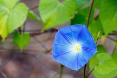 Fermez-vous de la fleur de gloire de matin Images stock