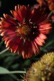 Fermez-vous de la fleur de Helenium Photographie stock libre de droits