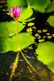 Fermez-vous de la fleur de lotus lilas dans l'étang avec des poissons de bébé Images stock
