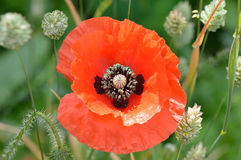 Fermez-vous de la fleur de pavot parmi l'alpiste photographie stock libre de droits