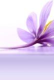 Fermez-vous de la fleur de safran Image libre de droits