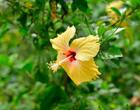 Fermez-vous de la fleur de sinensis de rosa de ketmie Photos libres de droits