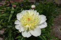 Fermez-vous de la fleur ene ivoire des officinalis de Paeonia image stock