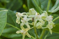 Fermez-vous de la fleur et de l'insecte blancs de couronne Photos libres de droits