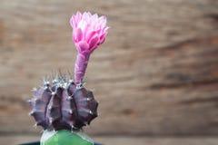 Fermez-vous de la fleur de floraison rose de cactus, belle fleur de cactus Photo stock