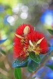 Fermez-vous de la fleur indigène de Pohutukawa Quelque part en Nouvelle Zélande images libres de droits