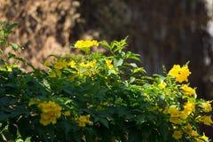 Fermez-vous de la fleur jaune, aîné jaune Image stock