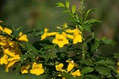 Fermez-vous de la fleur jaune, aîné jaune Images libres de droits