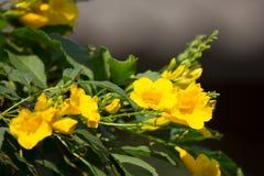 Fermez-vous de la fleur jaune, aîné jaune Photos libres de droits
