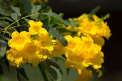 Fermez-vous de la fleur jaune, aîné jaune Images stock