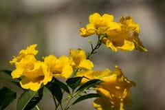 Fermez-vous de la fleur jaune, aîné jaune Image libre de droits