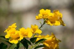 Fermez-vous de la fleur jaune, aîné jaune Photos stock