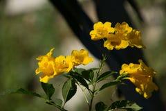 Fermez-vous de la fleur jaune, aîné jaune Photo stock