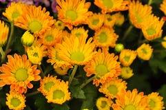 Fermez-vous de la fleur jaune de marguerite arrosée avec de l'eau Photographie stock libre de droits