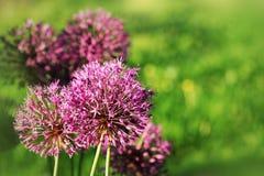 Fermez-vous de la fleur pourpre d'allium Photographie stock libre de droits