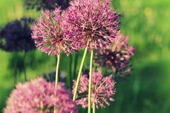 Fermez-vous de la fleur pourpre d'allium Images stock