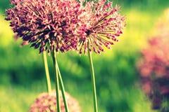 Fermez-vous de la fleur pourpre d'allium Image libre de droits