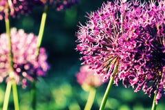 Fermez-vous de la fleur pourpre d'allium Photos libres de droits