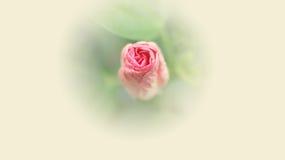 Fermez-vous de la fleur rose de ketmie dans la couleur douce Photo stock