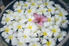 Fermez-vous de la fleur rose de plumeria de franjipani flottant parmi la fleur blanche sur l'eau en bassin en bois à la station t Images libres de droits