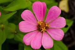 Fermez-vous de la fleur rose de zinnia Photos stock