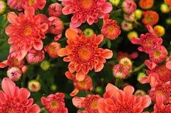 Fermez-vous de la fleur rose de marguerite arrosée avec de l'eau Photographie stock