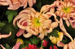 Fermez-vous de la fleur rose de marguerite arrosée avec de l'eau Photo libre de droits