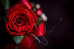 Fermez-vous de la fleur de rose de rouge sur le fond en bois de vintage Images libres de droits