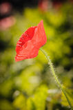 Fermez-vous de la fleur rouge de pavot à opium Images libres de droits