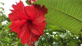 Fermez-vous de la fleur rouge de ketmie dans un jardin de balinese Fond de fleur Île tropicale de Bali, Indonésie banque de vidéos