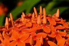 Fermez-vous de la fleur rouge de transitoire avec ses bourgeons image libre de droits