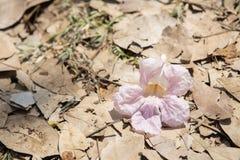 Fermez-vous de la fleur de trompette simple de rose de rosea de Tabebuia photo libre de droits