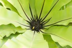 Fermez-vous de la fougère de nid du ` s d'oiseau, feuille verte dans le jardin d'arrière-cour image libre de droits