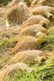 Fermez-vous de la graine de riz ou du riz non-décortiqué sur l'usine de riz images stock