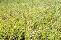 Fermez-vous de la graine de riz ou du riz non-décortiqué sur l'usine de riz photo stock