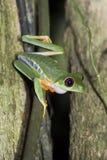 Fermez-vous de la grenouille d'arbre observée par rouge dans la jungle de nuit images libres de droits
