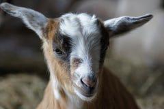 Fermez-vous de la jeune chèvre Image stock