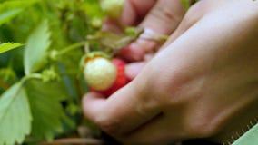 Fermez-vous de la jeune femme sélectionnant la fraise organique dans le domaine tir 4k banque de vidéos