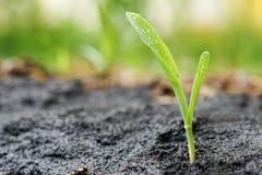 Fermez-vous de la jeune plante de maïs Images stock